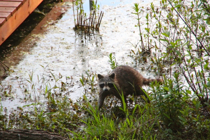 Racoon on waterfront