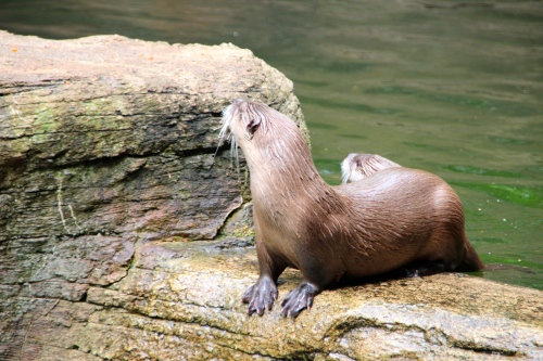 River Otters 5.13.15