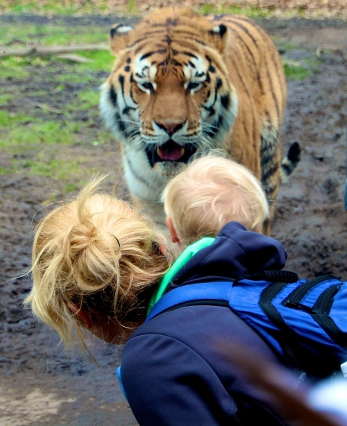 Siberian Tiger 5.13.15