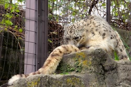Snow leopard's long tail 5.13.15