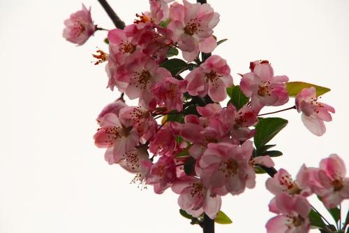 Spring Blossoms Shanghai