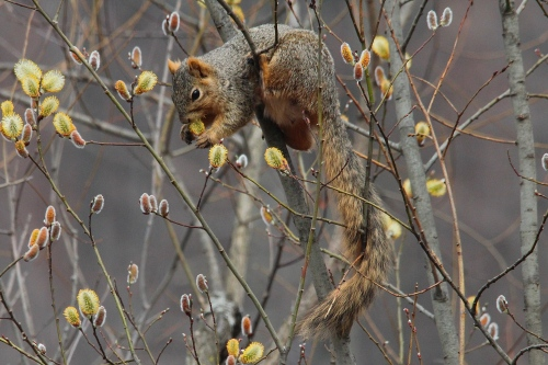 Squirrel in pussy willows