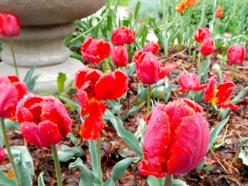 Tulips in rain 1