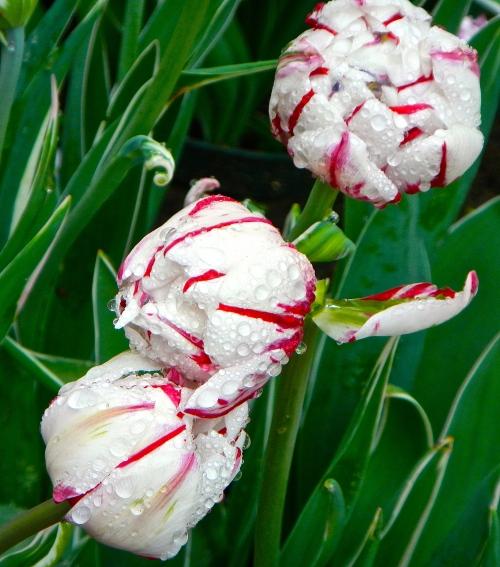 Tulips in rain  4