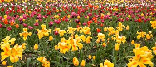 Tulips in rain  5