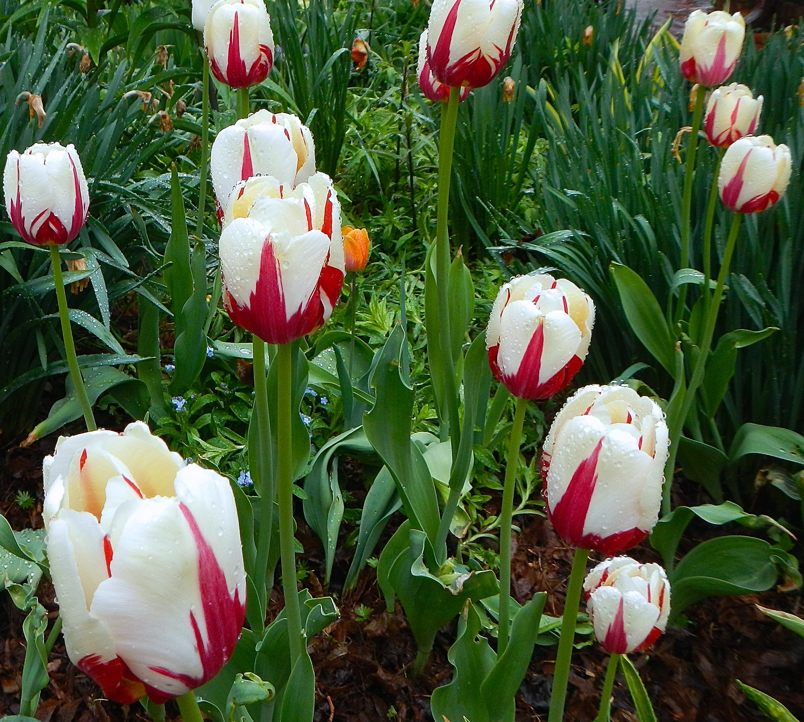 Commentary on song of solomon 51 encouragement for mothers on tulips in rain 6 song mightylinksfo