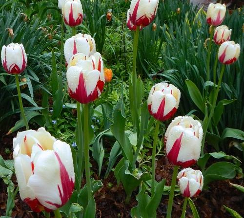 Tulips in rain  6
