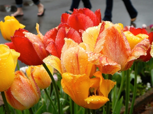 Tulips in rain  7