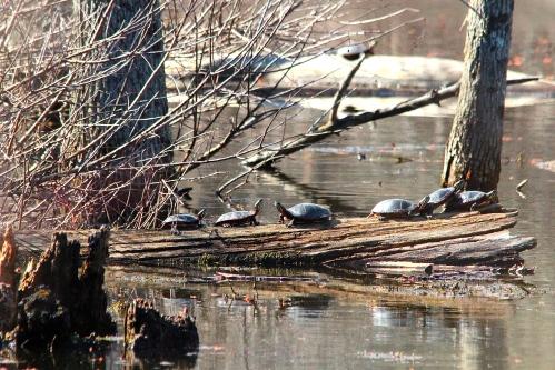 Turtles in swamp