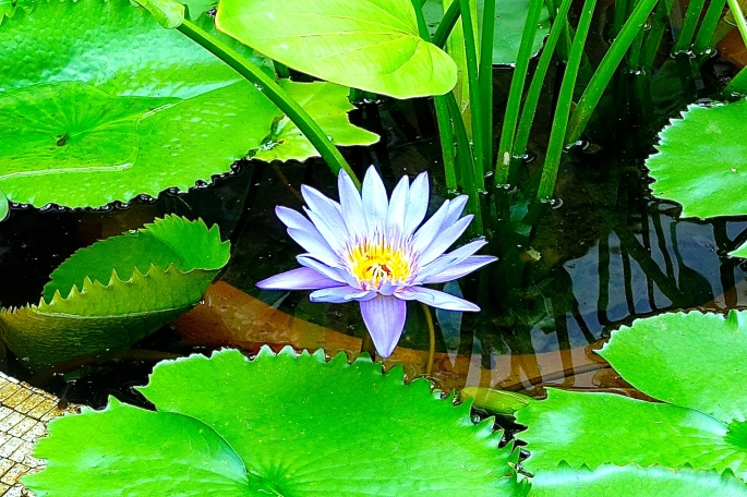 Viet Nam Lotus