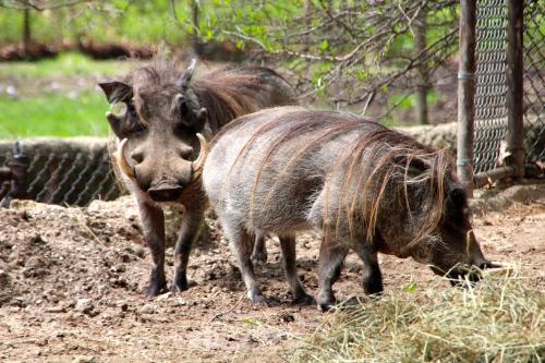 Wart Hogs 5.13.15