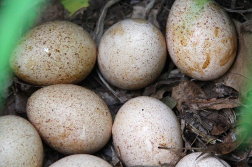 Wild Turkey eggs in nest