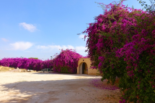 Amphitheater of Thysdrus at El Djem قصر الجمّ Bougainvillea