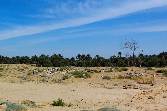 Goats and Sheep grazing in Tunisia