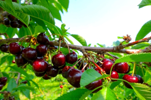 Picking Cherries at Robinette's Orchard, GR, MI. 2