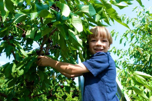 Picking Cherries at Robinette's Orchard, GR, MI. 5