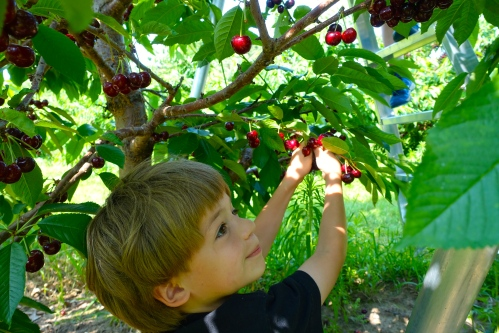 Picking Cherries at Robinette's Orchard, GR, MI. 6