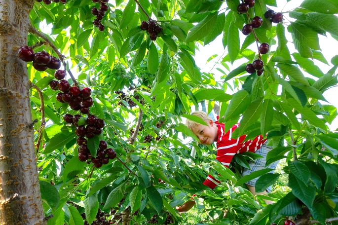 Picking Cherries at Robinette's Orchard, GR, MI. 8
