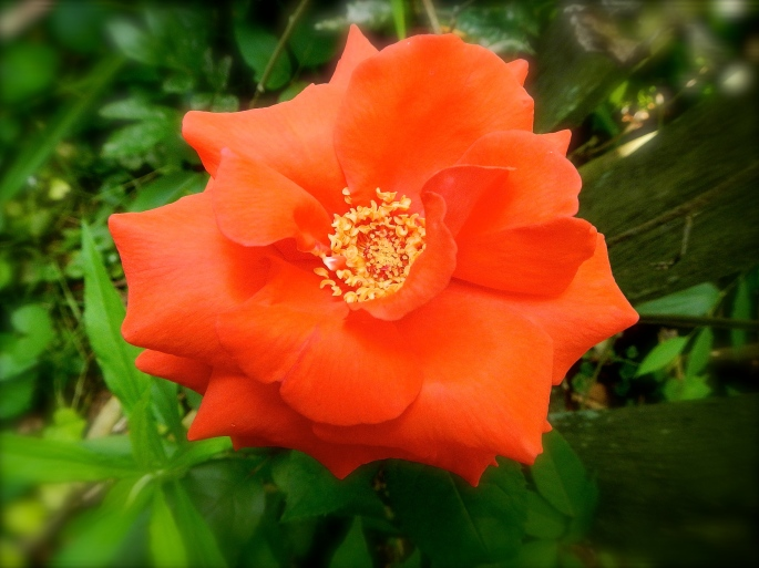 Rose. Orange copy