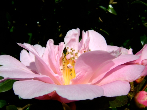 Rose. Pink  copy