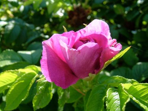 Wild Rose copy