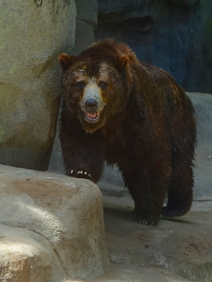 Bear at John Ball Zoo
