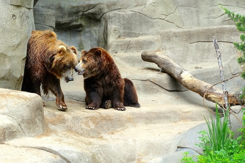 Bears at John Ball Zoo