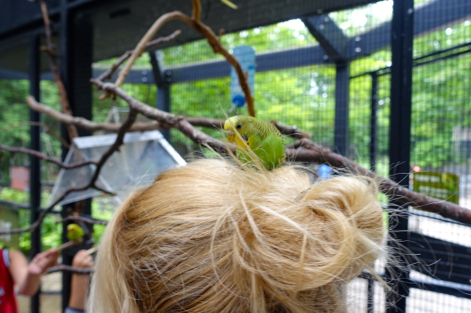 Budgie in hair