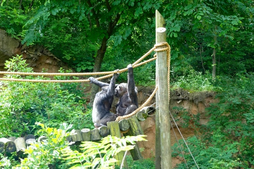 Chimps Kissing