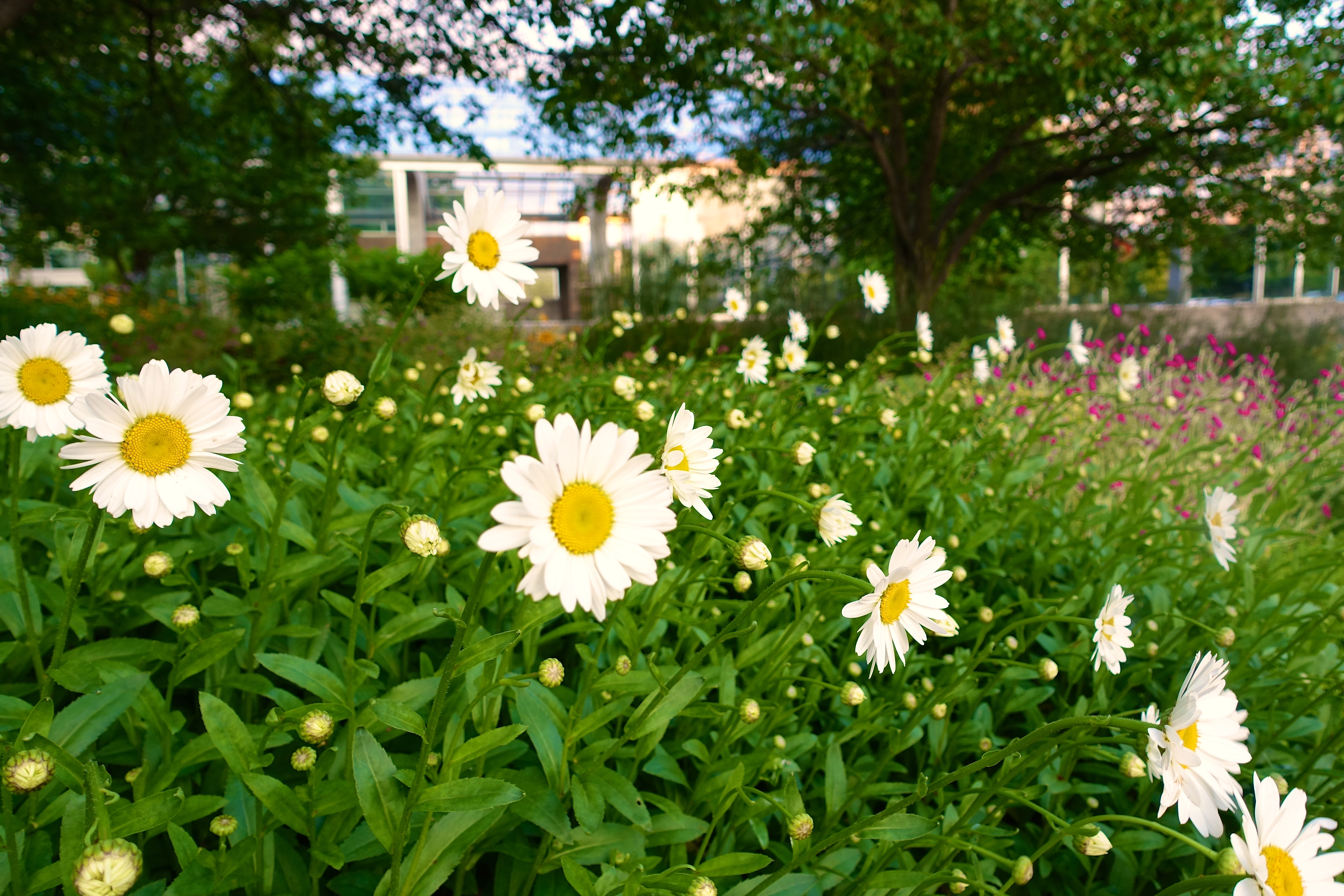 Daisies at Meijer Garden