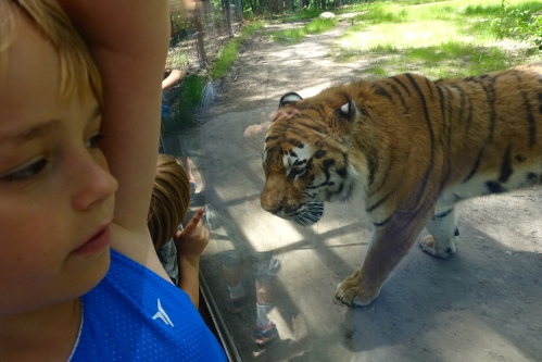 Tiger at John Ball Zoo