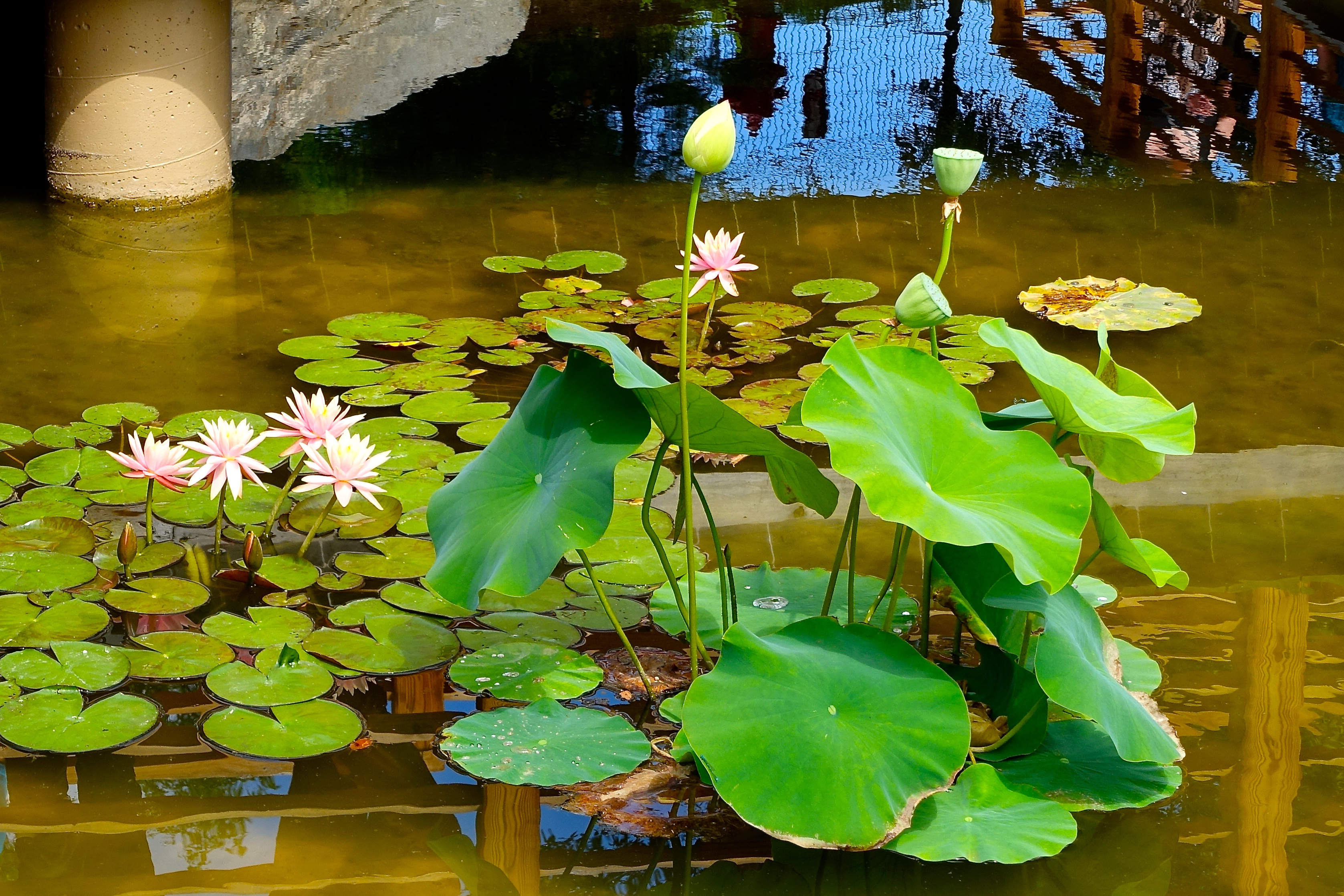 Water lilies and lotus blossoms at Frederik Meijer Japanese Garden