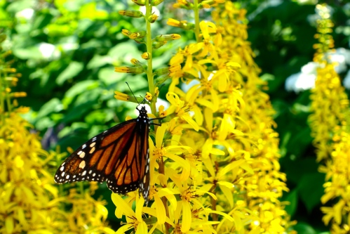 Monarch butterfly in garden at The Grand Hotel on Mackinac Island