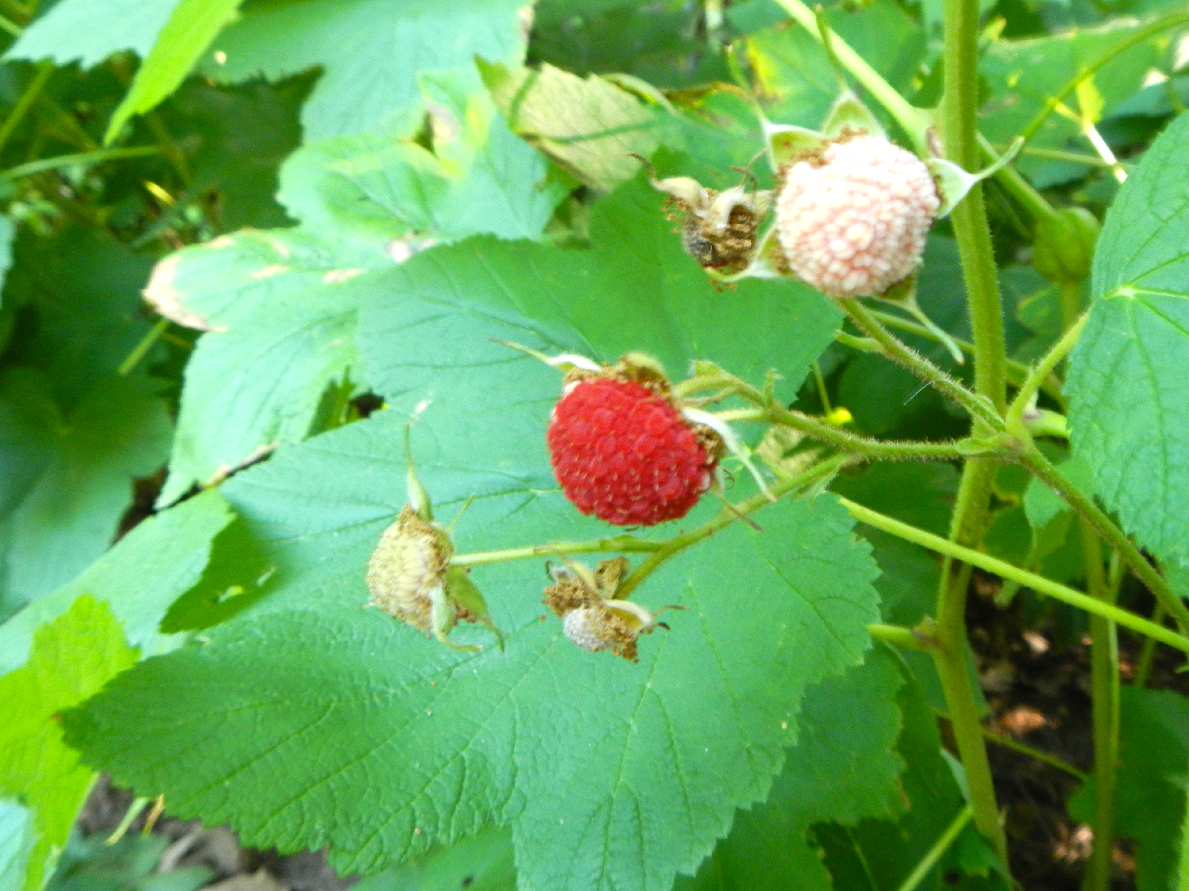 Ripened thimbleberry
