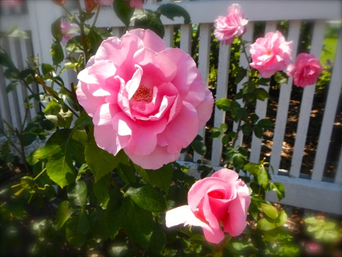 Roses along Fence at the Grand Hotel on Mackinac Island