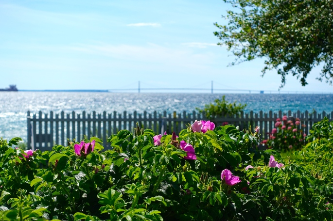 Wild Roses and Mackinac Bridge