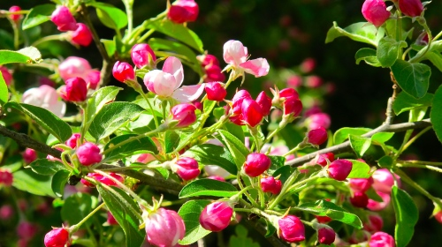 Apple blossoms are fabulous! We have several apple trees because our property used to be an asparagus farm and apple orchard copy 2