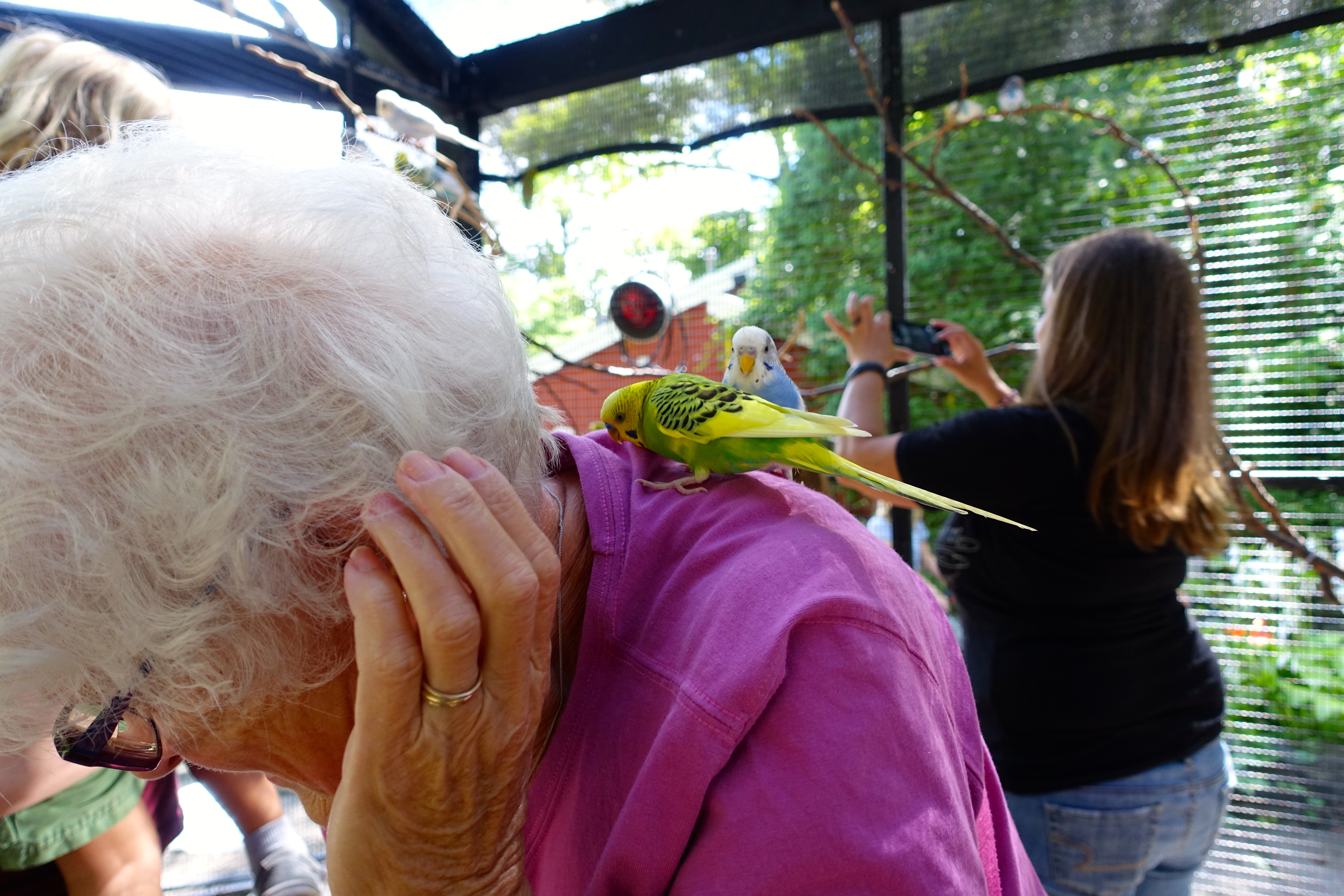 "Budgie ""attacking"" lady"
