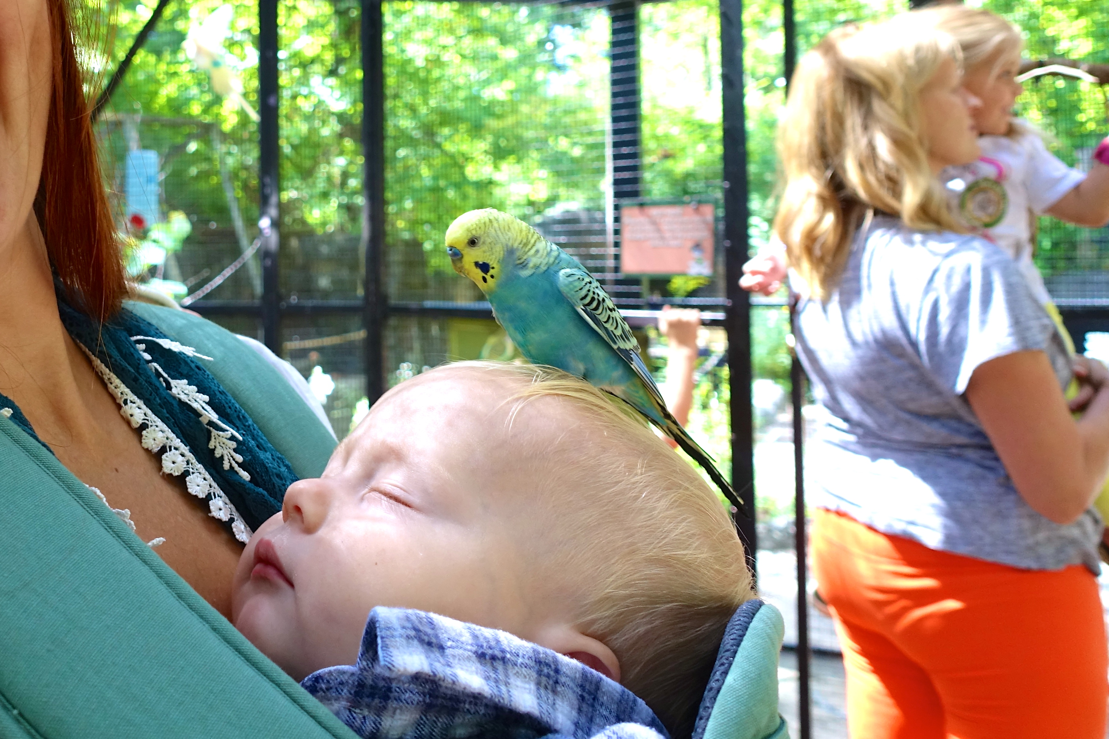 Budgie on baby's head