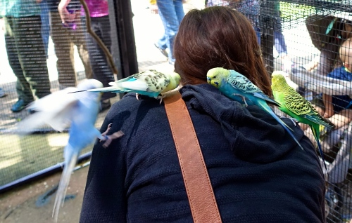 Budgies everywhere 2