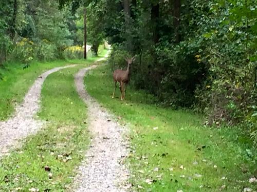 Deer on road 9.11.15
