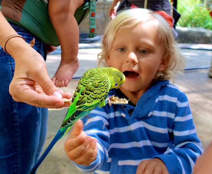 Little boy excited to feed budgie