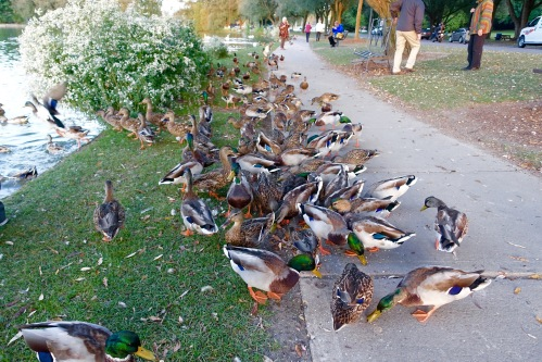 Lots of Ducks on the Avon River