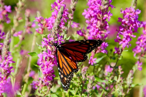 Monarch in our backyard on loose strife copy