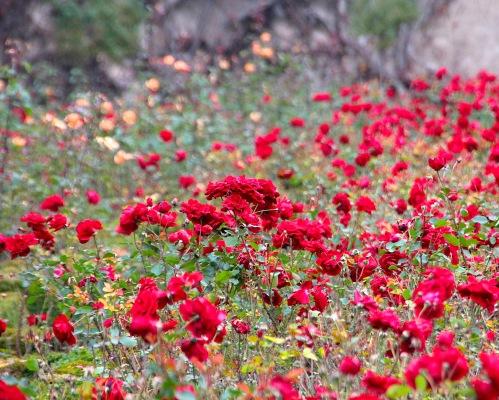 Roses at Mirabell Palace