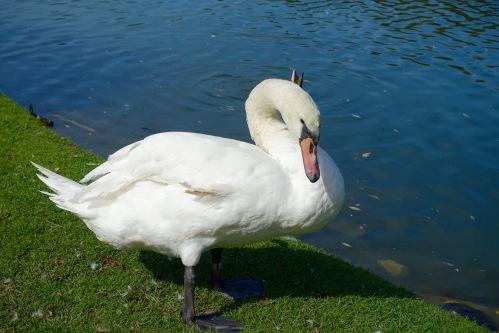 Swan on Avon River. 9.25.15+15