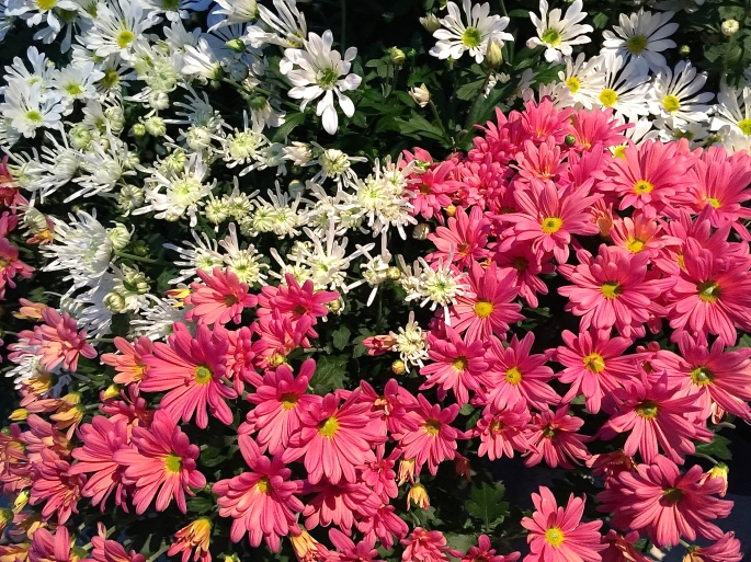 Asters. Pink and White