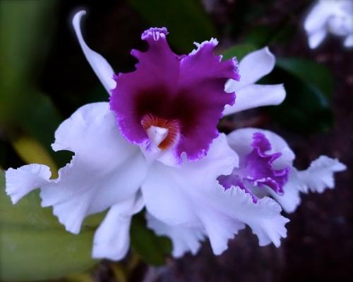 bi-colored-orchid-copy