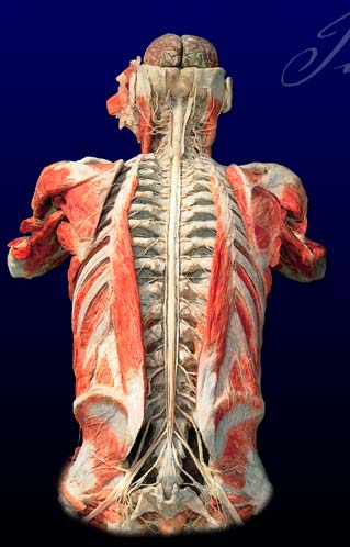 Body Worlds Chesseplayer