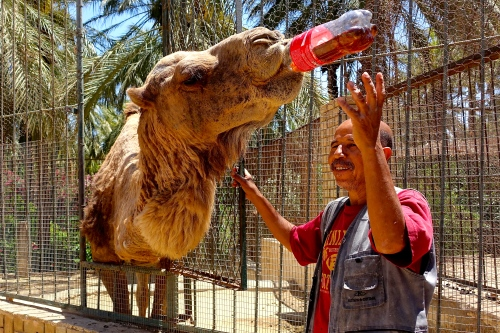 Camel at a Tunisian Zoo